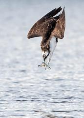 Missile (PeterBrannon) Tags: bird birdofprey fishing florida nature osprey ospreycatchingfish pandionhaliaetus raptor talons wildlife aerodynamics diving
