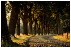 Goldene Stunde – golden hour (frodul) Tags: eiche allee baumallee niedersachsen gegenlicht strase kopfsteinpflaster avenue baum tree