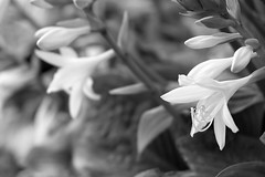 Hosta in bloom (javan123) Tags: plant botany monochrome bw dof blur summer xt1 flower
