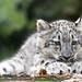 Snow Leopard Kitten Scratching