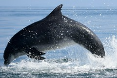 Dolphin leaping and splashing! (karen leah) Tags: dolphin bottlenose mammal marine action sea water animal wildlife outdoors nature cardiganbay ceredigion august summer entertaining blue