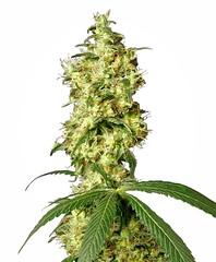 white-widow-automatic-xl (Watcher1999) Tags: white widow buds weed cannabis seeds marijuana kush great big bud medical california growing bob marley high yielding weeds smoking ganja legalize it reggae