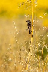 Tarabilla Común (Tito Garcia Niño) Tags: cañondelríolobos españa espejadesanmarcelino soria animales animals aves birds bitxaccomú natura naturaleza nature parquenatural saxicolatorquata tarabillacomún