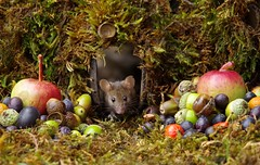 wild garden house mouse with fruits and berry's (2) (Simon Dell Photography) Tags: wild garden house mouse nature animal cute funny fun moss covered log pile acorns nuts berries berrys fuit apple high detail rodent wildlife eye ears door home sheffield ul old english country s12 simon dell photography