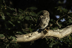 Lookout (Rob Blight) Tags: littleowl little owl bird wild wildlife fauna avian birdofprey perched perching d850 nikond850 200500 200500mm steinkauz richmondpark london britishwildlife eule kauz outdoors green