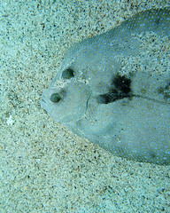 flatface (BarryFackler) Tags: fish benthic flatfish sand bothusmancus flounder paki peacockflounder floweryflounder camouflage bmancus marinelife hawaiidiving saltwater tropical biology marine island hawaiicounty undersea sealife marineecology bigisland hawaiiisland ocean scuba 2018 marinebiology nature sea westhawaii fauna reef outdoor zoology hawaiianislands northkona bay seacreature underwater pacificocean marineecosystem vertebrate coral water animal ecology diver being konadiving aquatic dive seawater ecosystem organism polynesia life sealifecamera bigislanddiving konadivingcompany halekai boatdive kailuakona wildlife creature barronfackler coralreef konacoast hawaii diving sandwichislands barryfackler