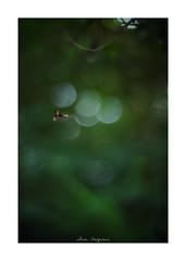 2018/8/2 - 1/15 photo by shin ikegami. - SONY ILCE‑7M2 / 七工匠  7artisans 50mm f1.1 (shin ikegami) Tags: macro マクロ 井の頭公園 吉祥寺 summer 夏 asia sony ilce7m2 sonyilce7m2 fullsize 七工匠 7artisans 7artisans50mmf11 tokyo photo photographer 単焦点 iso800 ndfilter light shadow 自然 nature 玉ボケ bokeh depthoffield naturephotography art photography japan earth