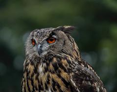 "Great horned owl (Millie Cruz ""Catching up in weekend"") Tags: greathornedowl horned owl tiger hoot bird nature animalplanet feathers bokeh pennsylvaniarenaissancefaire canoneosrebelt6i tamron18400"