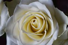 DSC_1435 (PeaTJay) Tags: nikond750 sigma reading lowerearley berkshire macro micro closeups gardens indoors nature flora fauna plants flowers bouquet rose roses rosebuds