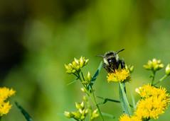 Busy as a Bee (Clif Budden) Tags: 2018 canada environment nl nature newfoundland outdoors salmoniernaturepark saturday september sunny