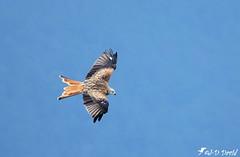 Milan Royal 04 (Jean-Daniel David) Tags: oiseau milan milanroyal envol rapace ciel closeup nature vol yverdonlesbains suisse suisseromande vaud bleu