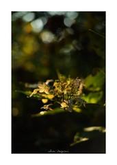 2018/8/5 - 10/18 photo by shin ikegami. - SONY ILCE‑7M2 / New Jupiter 3+ 1.5/50 L39/M (shin ikegami) Tags: macro マクロ 紫陽花 flower 花 井の頭公園 吉祥寺 summer 夏 sony ilce7m2 sonyilce7m2 a7ii 50mm lomography lomoartlens newjupiter3 tokyo sonycamera photo photographer 単焦点 iso800 ndfilter light shadow 自然 nature 玉ボケ bokeh depthoffield naturephotography art photography japan earth asia