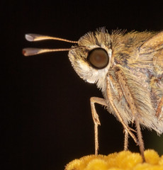 Portrait of a Sachem Skipper (tresed47) Tags: 2018 201809sep 20180905homemacro butterflies canon7dchestercounty chestercounty content folder home insects macro pennsylvania peterscamera petersphotos places ringflash sachem season september skipper summer takenby technical us