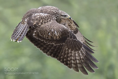 On the move... (KevinBJensen) Tags: bird prey pics pictures wbpa forest model buzzard common hawk buteo talons flight flying animal photography photograph images wildlife wild free photographer nature