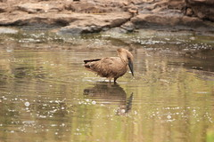 Reflection (Nagarjun) Tags: hammerkop scopusumbretta pond waterbody nairobinationalpark kenya bird birdlife wildlife safari gamedrive africa avifauna