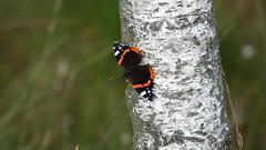Schmetterling/fjäril Admiral (Vanessa atalanta) (damestra) Tags: schmetterling fjäril butterfly admiral vanessaatalanta pietzmoor moor deutschland germany tyskland naturschutzgebiet naturreservat tier animal djur