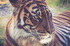 Shere Khan (Alexandre66) Tags: holland hollande paysbas nederland arnherm canon 6d 24105mm f4 l is usm burgerszoo tigre tiger