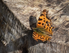 Comma Butterfly (littlestschnauzer) Tags: comma butterfly nature emley winged insect 2018 uk summer pretty log sunshine july garden woodgrain countryside patterned orange macro wings summertime village rural