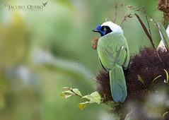 Urraca Inca/ Inca jay (Cyanocorax yncas) (Jacobo Quero) Tags: cyanocoraxyncas incajay urracainca bird birding corvidae animal wildlife ave nature naturaleza cosanga ecuador