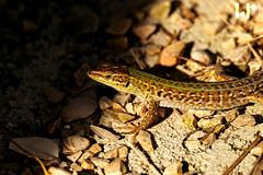Lizard chilling in the sun (rungegraphy) Tags: eidechse canon 80d coast travel wildlife croatia novalja kustici goldenhour