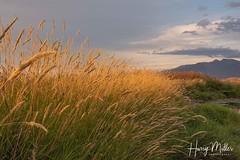 Late Day Light (HarryMiller002) Tags: grass sunset wind ninepipe montana bigsky treasurestate
