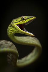 Oxybelis brevirostris (sebastiandido) Tags: snake vine oxybelis buenaventura choco ecuador biodiversity nikon d500 jocotoco