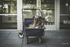37/52 - difficult times... (yookyland) Tags: 52weeksfordogs 2018 misty 3752 senior dog dogstroller city urban building