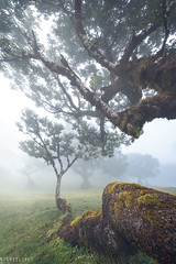 Resting (Ron Jansen - EyeSeeLight Photography) Tags: madeira portugal forest old ent mystical fog foggy clouds low mood branch branches long impressive tree trees moss mossy