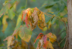 Fading Away (maureen.elliott) Tags: fall colours leaves plant autumn fading wilting nature closeups