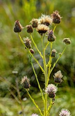 wright's marsh thistle top (JoelDeluxe) Tags: blue creek cienega cityofsantarosa nm newmexico guadalupecounty marsh thistle pecos sunflower spring seep marshes runs creeks calciumrich waters wrightsmarshthistle pecossunflower joeldeluxe