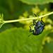 Acrobatic Beetle