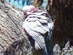 A Day In Kings Park, Perth, Western Australia (AdamsWife) Tags: westernaustralia perth kingspark plants flower flora wildflowers nature galah bird pinkgrey parrot