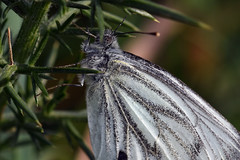 2430_butterfly (Realmantis) Tags: butterfly bug macro insect invertebrate