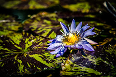 Water Lily (rg69olds) Tags: 09152018 5dmk4 canonef24105mmf4lisusm canoneos5dmarkiv lauritzengardens nebraska bloom blossom canon flower flowers leaves omaha plants tree waterlily water blue pond photoclass