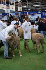 DSC_8997 poll merino judging, 2018 Royal Adelaide Show, Wayville, South Australia (johnjennings995) Tags: royaladelaideshow wayville show merino sheep judging agriculture