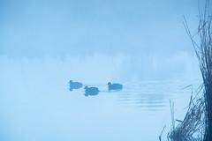Misty Myall (Wanda Amos@Old Bar) Tags: 3 wandaamos birds ducks landsacpe minimalism minimalist mist morning sunrise three