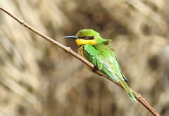 Little Bee-eater (Merops pusillus), Bijilo Forest Park, the Gambia (Frans.Sellies) Tags: img3291 meropspusillus merops pusillus gambia the