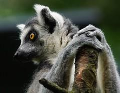 Tg SR       oh ... this is the end           180919 (Eddy L.) Tags: tiergartenstraubing straubing portrait katta lemurcatta lemur ringtailedlemur minoltaafhs28300mmg sonyalpha teamsony sonyphotographing eddyl2018