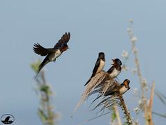 Golondrina (Jose A Amado Hidalgo) Tags: passeriformes paseriformes hirundinidae golondrina androriña enaraarrunta orenatavulgar barnswallow hirundorustica