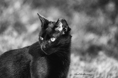 Mandy (psdenbow) Tags: canon cat caturday feral bw tamron tamron150600