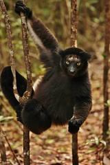IMG_9712  Indri lemur (Indri indri) (Kalina1966) Tags: madagascar animals lemur