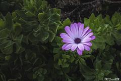 Flores_Margarita_02 (María Corín) Tags: jardines flores flor color flowers margarita daisyflower