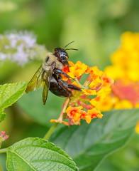 Carpenter bee (Xylocopa virginica) (tkclip47) Tags: carpenter bee xylocopavirginica insect flower nectar pollen nature coth5