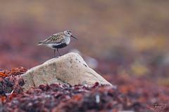 Bécasseau variable (Tifaeris) Tags: bécasseauvariable calidrisalpina charadriiformes dunlin nesseby norvège scolopacidés varanger bird oiseau