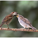 House Sparrow (juvenile and male) - Huismus (juveniel en man) - Passer domesticus
