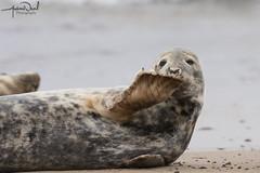 Alright Mate!? (AndyNeal) Tags: wildlife nature seal seals horsey horseygap amusinganimals sand sea beach