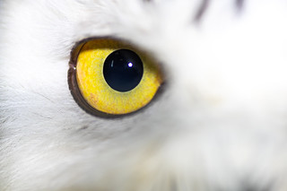 Snowy owl (Bubo scandiacus) close up of eye