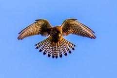 Kestrel (petermckay1) Tags: wildlife nature bird surrey horsellcommon uk england kestrel elements