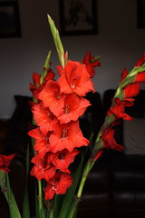 DSC_1570 Gladioli (PeaTJay) Tags: nikond750 sigma reading lowerearley berkshire macro micro closeups gardens indoors nature flora fauna plants flowers bouquet gladioli