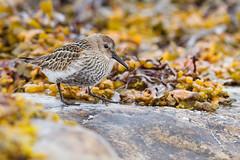 Bécasseau variable (Tifaeris) Tags: bécasseauvariable calidrisalpina charadriiformes dunlin ekkerøy norvège scolopacidés bird oiseau